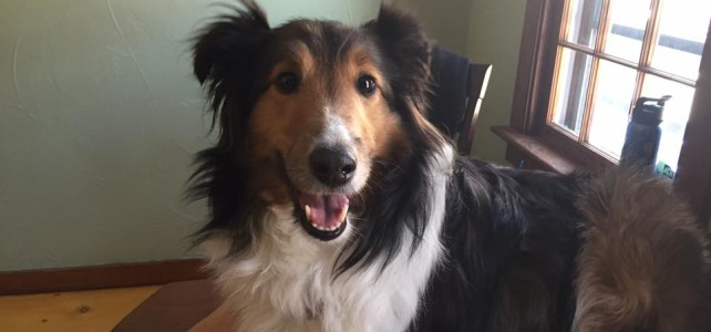 Sheltie Receiving Acupuncture For Liver Disease