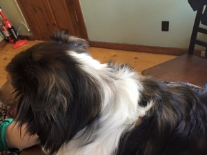 holistic-acupuncture-sheltie-dog-4