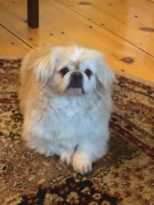 Pekingese-Acupuncture-Treatment-Back-Pain-2